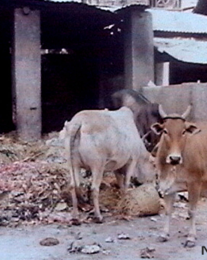 Cows outside Mumbiram's Studio at Mandai Market